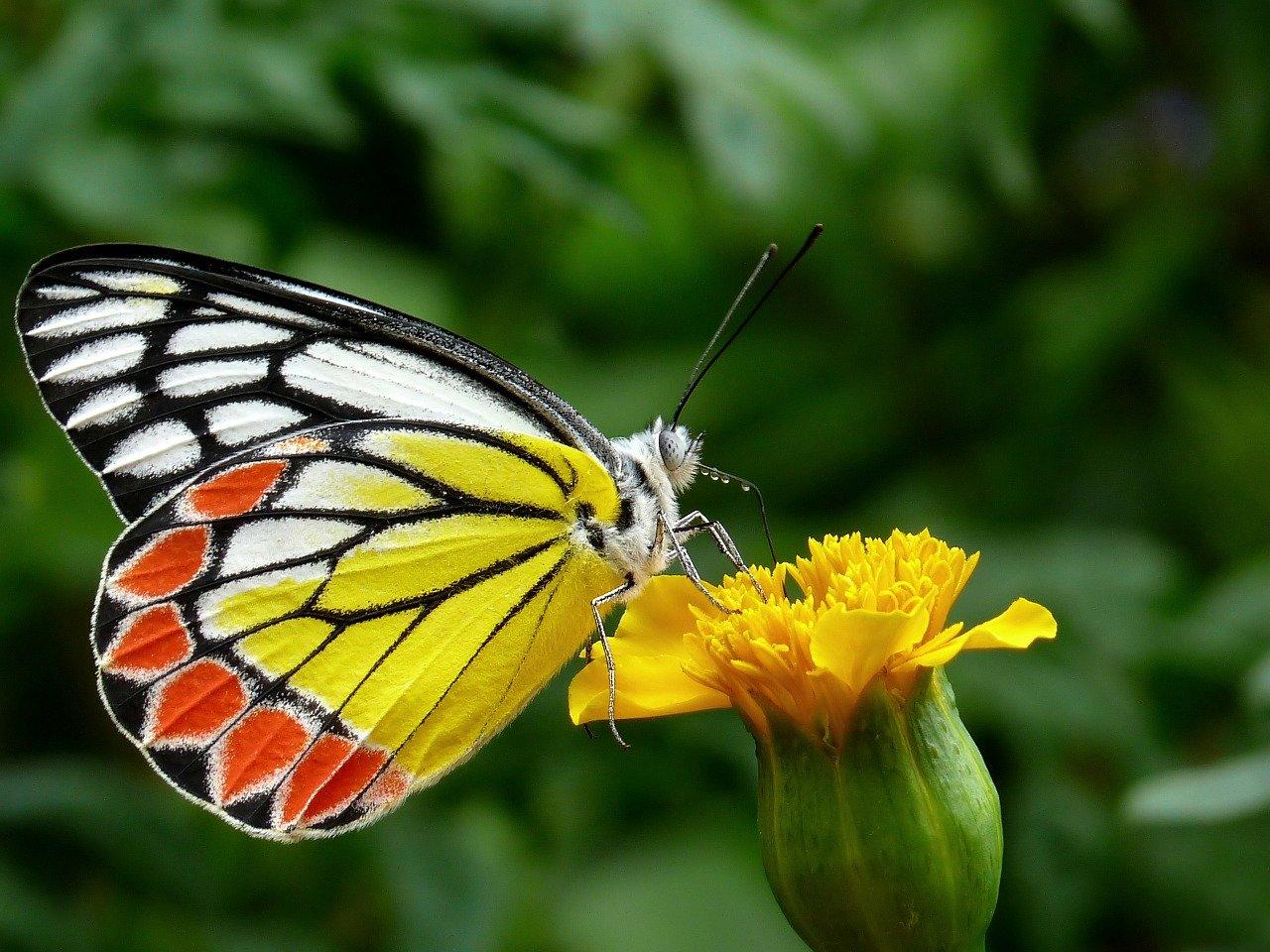 butterfly, common jezebel, flower-85628
